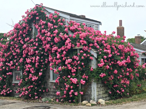 roses at 'Sconset
